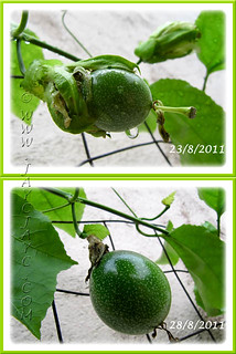 Our Passiflora edulis (Purple Passionfruit/granadilla) is fruiting for the 1st time in 2 years