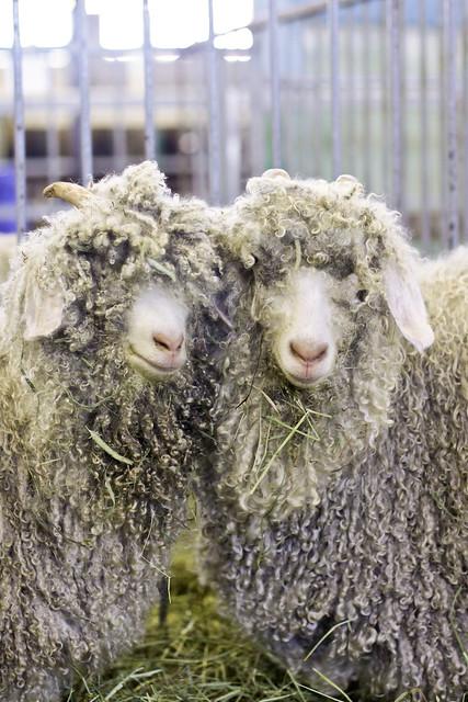Les moutons (ou brebis)