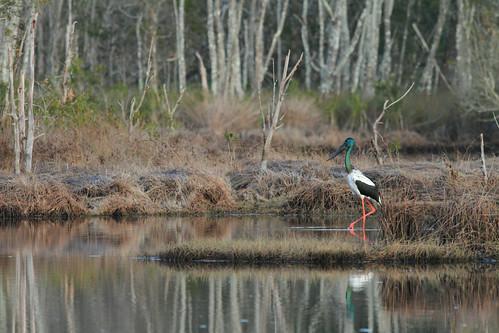 black birds photography wildlife brett stork jabiru necked dolsen