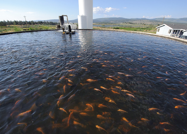 Kelley hotspring fish farm tilapia flickr photo sharing for Fish farm 3