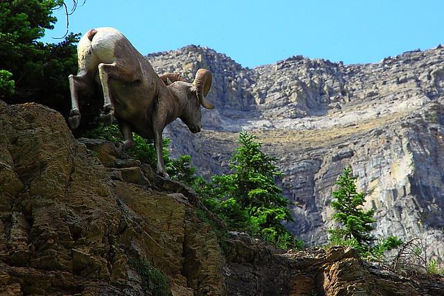 IMG_7280 Bighorn Sheep
