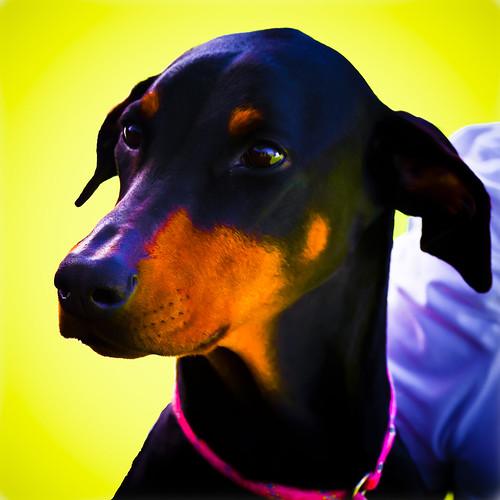 portrait pet dogs doberman
