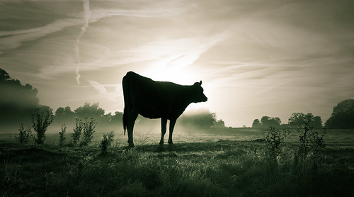 mist misty sunrise dawn cattle cows jersey slough berkshire kevday bovine langleypark