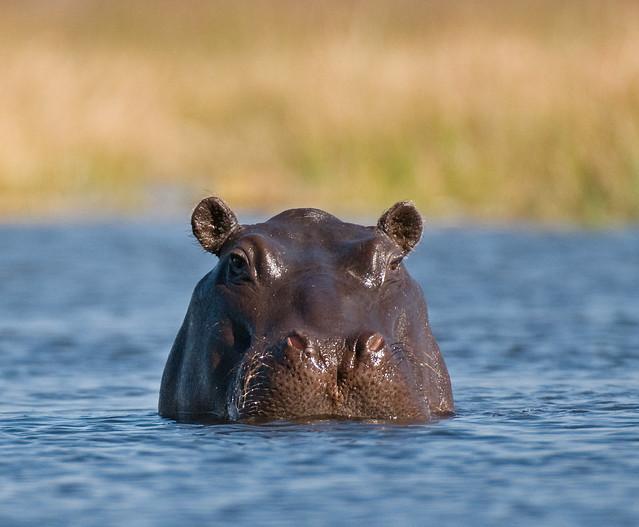Hipopótamo en el Delta del Okavango, Botsuana.