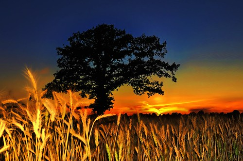 Shades of wheat and a tree silhouette at sunset