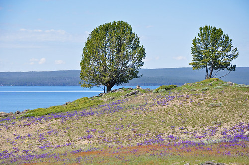 Lupine and Two Trees