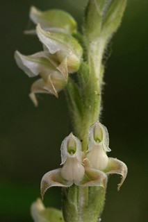 Goodyera oblongifolia_flower