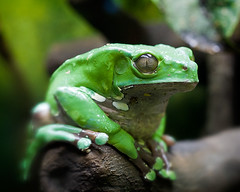 Waxy Frog