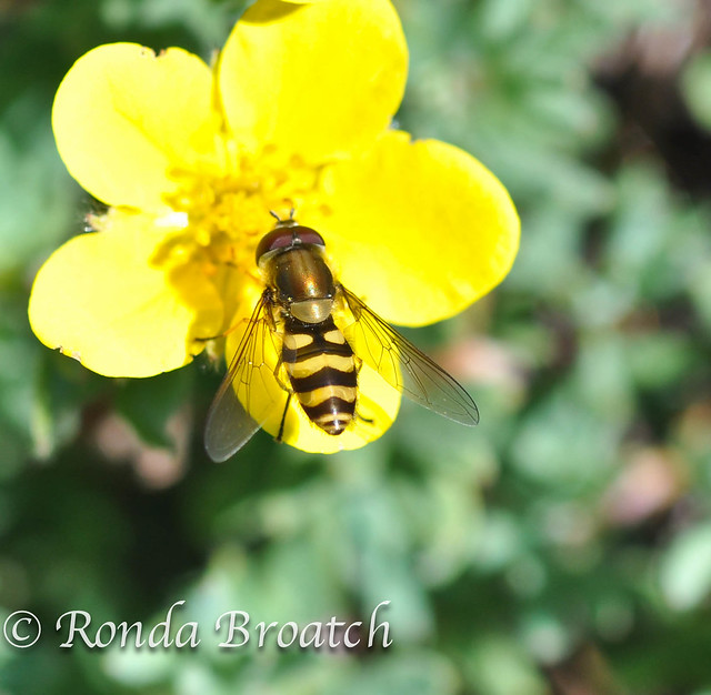 Bee on a buttercup