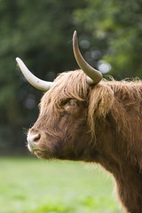 cattle-like mammal, animal, bull, mammal, horn, grazing, fauna, close-up, meadow, cattle, yak, pasture, wildlife,