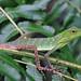 Green crested lizard (Bronchocela cristatella) by Arthur Anker