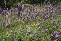 hyssopus(0.0), grass(0.0), breckland thyme(0.0), lavandula stoechas(0.0), prairie(1.0), lavandula dentata(1.0), flower(1.0), english lavender(1.0), plant(1.0), lavender(1.0), lavender(1.0), herb(1.0), wildflower(1.0), flora(1.0), meadow(1.0),