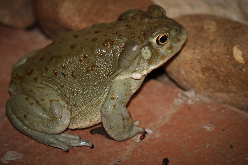 Sonoran Desert Toad - Bufo alvarius