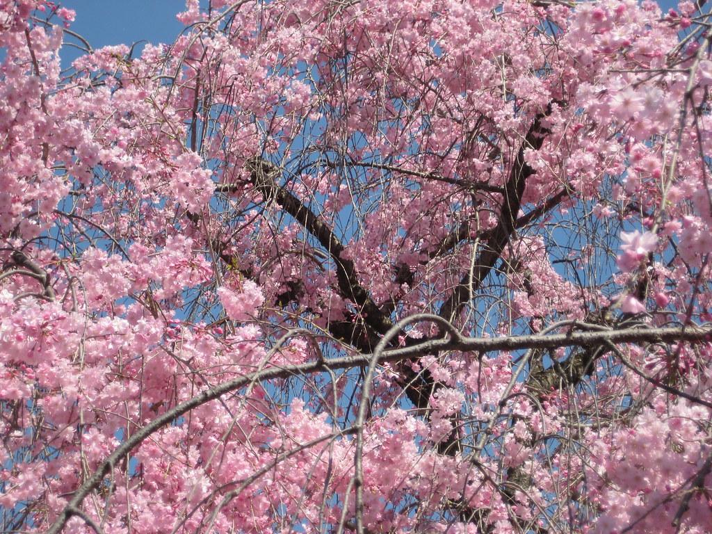 Arbol De Cerezo Japones Árbol del cerezo japones | amparo servicios turisticos | flickr