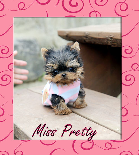 Tiny Teacup Chihuahua Puppies Sale