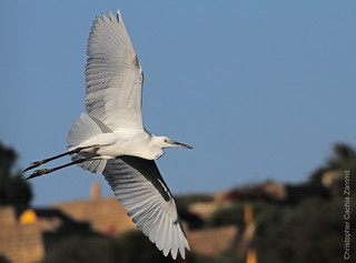 Little Egret - Agret Abjad