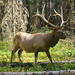 Close encounters 1: elk / Incontri ravvicinati 1: wapiti