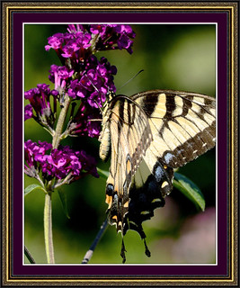 Tiger Swallowtail - Regal Trappings