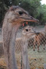 emu(1.0), animal(1.0), zoo(1.0), ostrich(1.0), flightless bird(1.0), fauna(1.0), close-up(1.0), beak(1.0), safari(1.0), bird(1.0), ratite(1.0), wildlife(1.0),