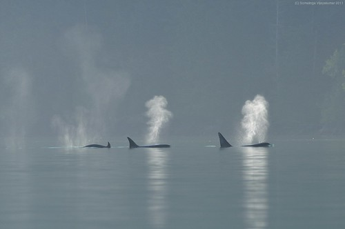 three orcas breathing through blowholes