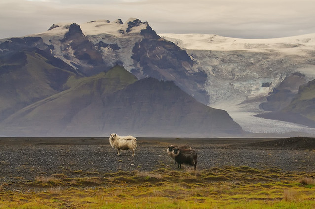 The Sheep of Vatnajökull