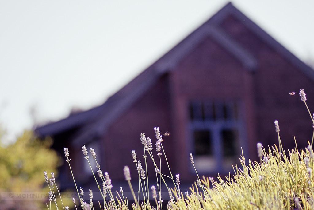 lavender hill farm 8