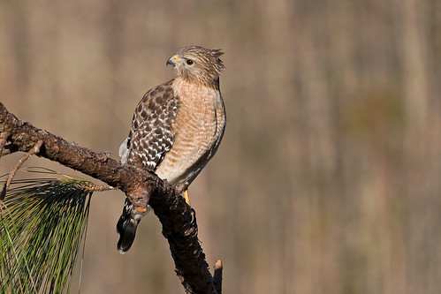 Red Shouldered Hawk Head Tilt