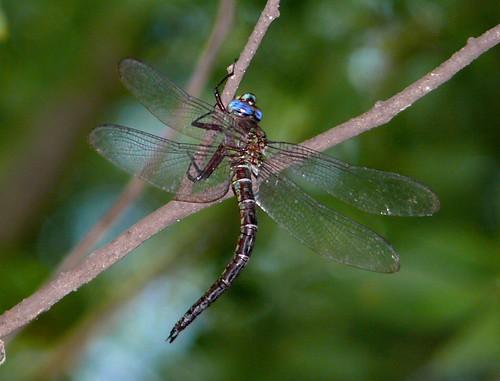 oklahoma dragonfly odonata mccurtaincounty aeschnidae cyranodarner nasiaeschnapentacantha redsloughwma