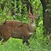 Bushbuck - Photo (c) Bernard DUPONT, some rights reserved (CC BY-NC-SA)