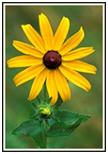 Black Eyed Susan flower.