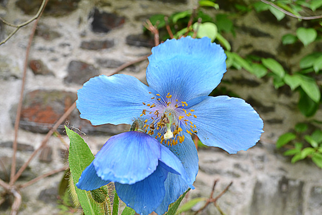 Blue Poppy at Bodnant Gardens