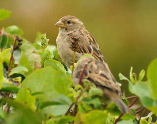 House Sparrow {Passer Domesticus}
