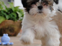 dog breed(1.0), animal(1.0), dog(1.0), schnoodle(1.0), pet(1.0), lã¶wchen(1.0), biewer terrier(1.0), havanese(1.0), lhasa apso(1.0), morkie(1.0), chinese imperial dog(1.0), maltese(1.0), shih tzu(1.0), carnivoran(1.0),