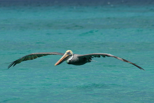 ocean blue sun color bird beach nature water animal wildlife pelican aruba birdwatcher sony350 thewonderfulworldofbirds