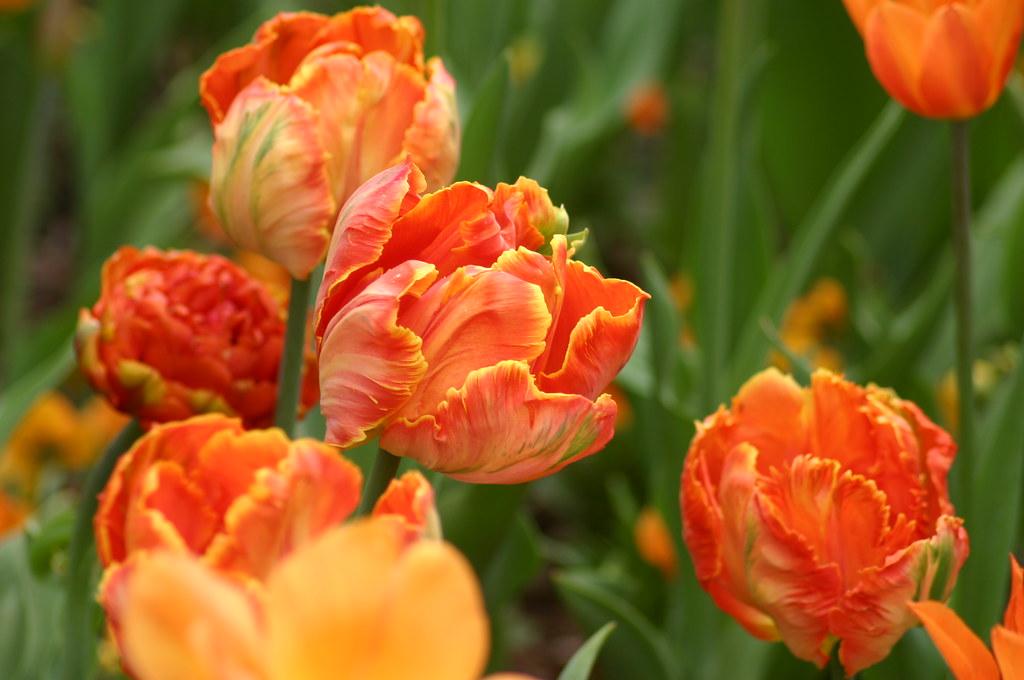 Tulipa 'Professor Röntgen' av Ryan Somma, på Flickr