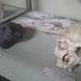 Australopitecus and Homo Erectus ©tiseb