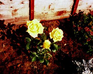 1986 10 09_Rose-1