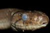 "<a href=""http://www.flickr.com/photos/63048706@N06/6105940540/"">Photo of Coelognathus radiatus by Thomas Brown</a>"
