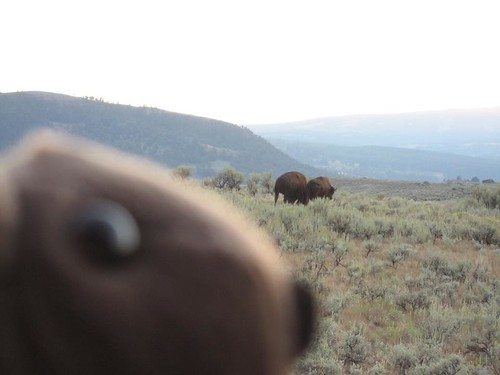 Buddy Bison sneaks up on another herd of bison in the Lamar Valley of Yellowstone National Park