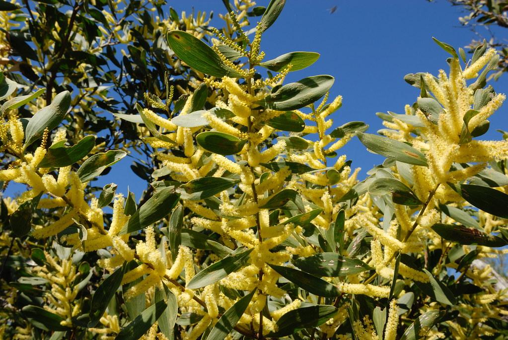 Acacia Sophorae Coastal Wattle Acacia Sophorae Coastal Flickr
