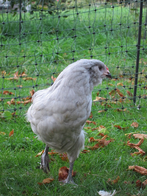 One of the Lavender Araucana chickens