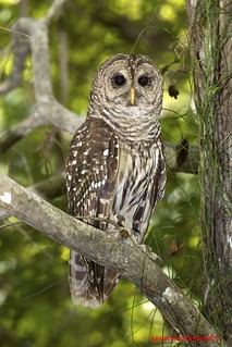 Barred Owl On Perch Fakahatchee Strand State Park