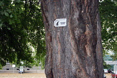Веково дърво