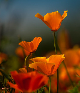 California Poppies 5