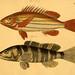 Naturgeschichte in Bildern : mit erläuterndem Text / Von Professor Dr. Strack. Lief. 4. (Heft 33-56). Fische.