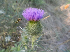 Thistle and Hornet