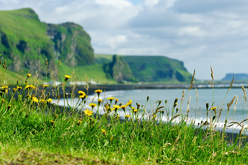 Black Sand Beach at Vik, with Flowers