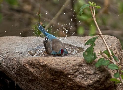 O banho das aves