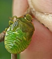 Stink Bug (Acrosternum hilare)