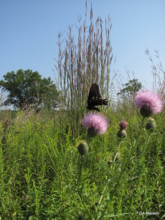Battus philenor on  Cirsium sp.